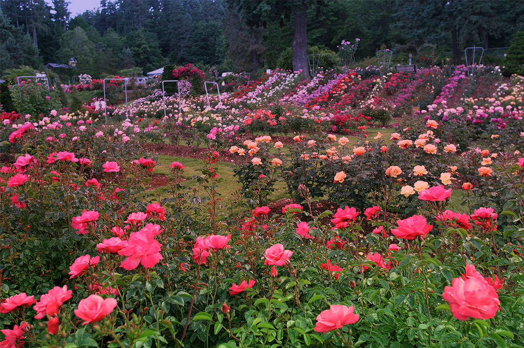 The International Rose Test Garden Places To See In Oregon